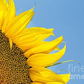 Stela Taneva - Sunflower
