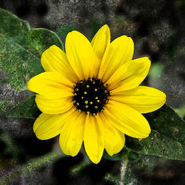 AGeekonaBike Photography - Sunflower Study