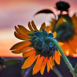 Diane Alexander - Sunflower Sunrise 4