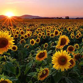 Timothy Eberly - Sunflower Sunset