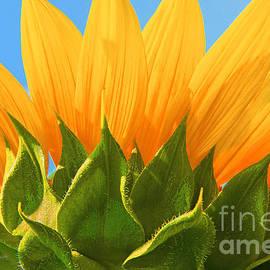 Regina Geoghan - Sunflower Turnabout