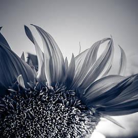 Isabel Laurent - Sunflower Twilight