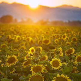 Rima Biswas - Sunflowers at sunset