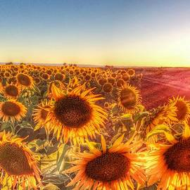 Cindy Lee Galyean - Sunflowers Basking in the Sunset.