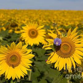 Chris Scroggins - Sunflowers Field
