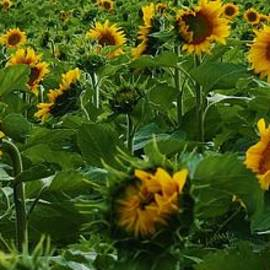 Bruce Bley - Sunflowers Galore