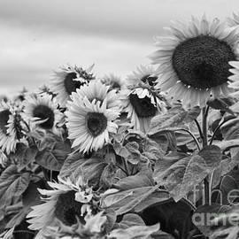K Hines - Sunflowers