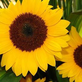 Lina Isaza - Sunflowers