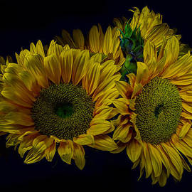 Geoffrey Coelho - Sunflowers on a Black Background
