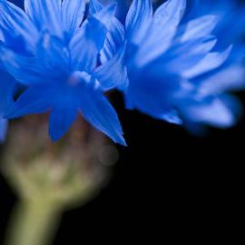 Anne Gilbert - Sunkissed Cornflower
