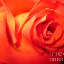 Tara  Shalton - Sunkissed Orange Rose 6