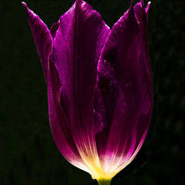 Mitch Shindelbower - Sunlit Tulip