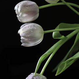 Tracy  Hall - Sunlit Tulips
