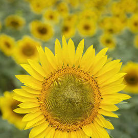 Linda D Lester - Sunny Day at the Sunflower Farm