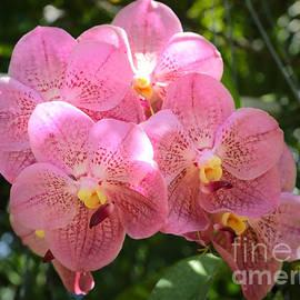 Carol Groenen - Sunny Pink Orchids