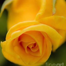 Andrea Goodrich - Sunny Rose