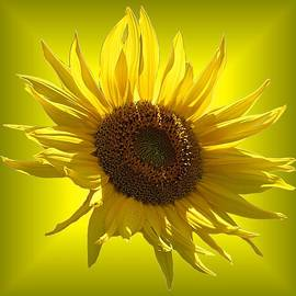 MTBobbins Photography - Sunny Sunflower on Yellow