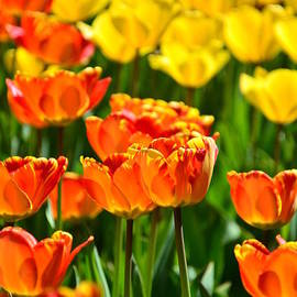 Gynt - Sunny tulips