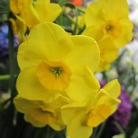 MTBobbins Photography - Sunny Yellow Daffodils