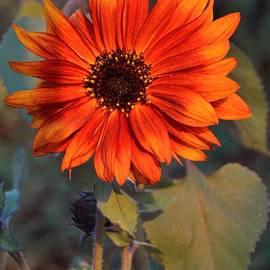 Chalet Roome-Rigdon - Sunrise Red Sunflower