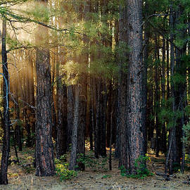 Ed  Cheremet - Sunrise through the Trees