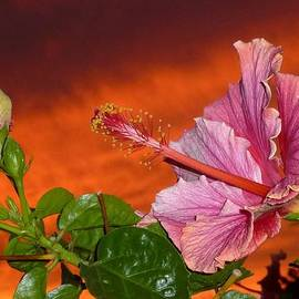 Barbie Corbett-Newmin - Sunset Hibiscus
