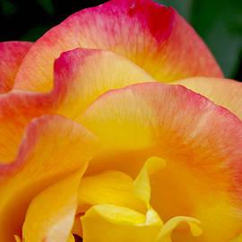 Christine Burdine - Sunset Rose at Dawn