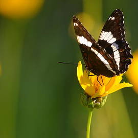 Jaunine Ammerman - Sunshine And Butterflies