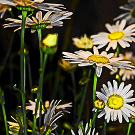 Tom Gari Gallery-Three-Photography - Sunshine Daisies Butter Mellow
