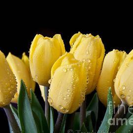 Tracy  Hall - Sunshine Tulips