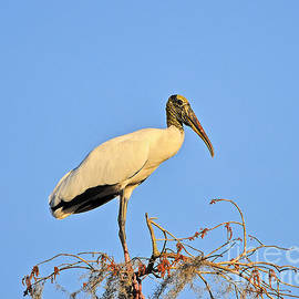 Al Powell Photography USA - Suwannee Stork