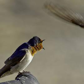 Mr Bennett Kent - Swallow fight