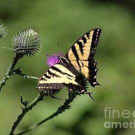 Erica Hanel - Swallowtail and Thistle