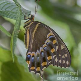 Anne Rodkin - Swallowtail