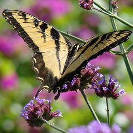 Rosanne Jordan - Swallowtail Bliss