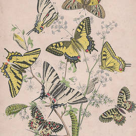 W Kirby - Swallowtail Butterflies - Papilionidae