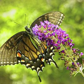 Sandi OReilly - Swallowtail Butterfly