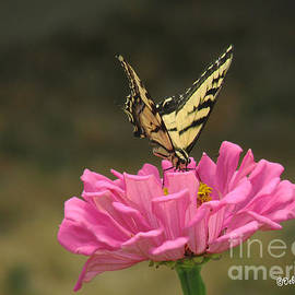 Debby Pueschel - Swallowtail on a Zinnia