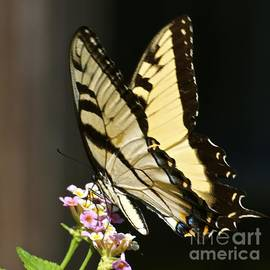 AnnaJo Vahle - Swallowtail on Lantana