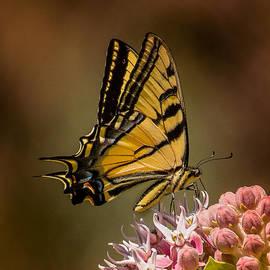 Janis Knight - Swallowtail on Milkweed