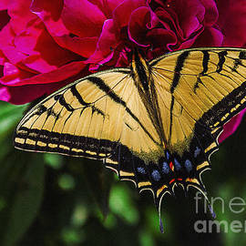 Janice Rae Pariza - Swallowtail on Peony