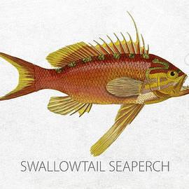 Swallowtail seaperch
