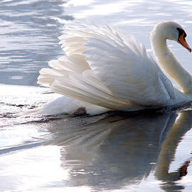 Roy Williams - Swan Bathed In Morning Light Series - 3