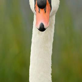 Heidi Piccerelli - Swan