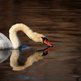 Karol  Livote - Swan Reflects