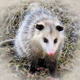MTBobbins Photography - Sweet Possum