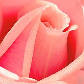 Regina Geoghan - Sweetheart Pink Rosebud
