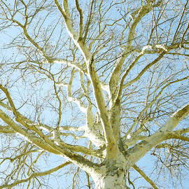 Ann Powell - Sycamore Tree in Winter - photography