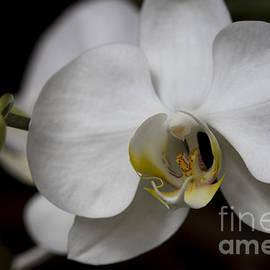 Meg Rousher - Symphony White Orchid