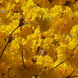 Denise Mazzocco - Tabebuia Tree Blossoms